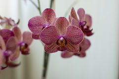 Several orchid flowers. Some orchid colorful flowers on a spike Royalty Free Stock Photography