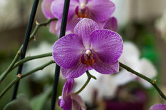 Several orchid flowers. Some orchid colorful flowers on a spike Stock Photos