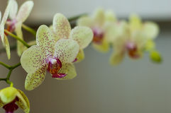 Several orchid flowers. Some orchid colorful flowers on a spike Royalty Free Stock Photos