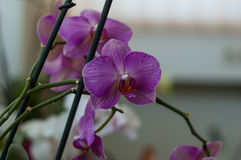 Several orchid flowers. Some orchid colorful flowers on a spike Royalty Free Stock Images