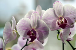 Several orchid flowers on the windows sill in the room Stock Photo