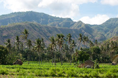 Several palm trees in a row growing on a green field at midday. Several palm trees in a row growing on a green field at midday in front of mountains, Bali Stock Photo