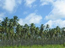 Palms panoramic view. Several palms lansdcape in Venezuela Stock Photo