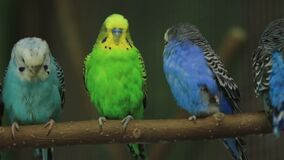 Several Parrots on a Branch. Several budgerigars two blue and one green sits on a branch 1080p, 50fps stock footage