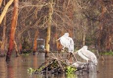 Several pelicanos Royalty Free Stock Photo