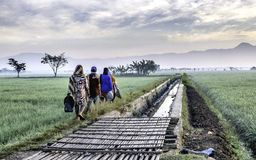 Several people walking in the edge of vast rice field. They are farmers who started to work. This picture was taken at sunrise Stock Images