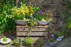 Several perennial plants pottet in old containers. Several perennial plants pottet in old containers a great cottage garden decorattion Royalty Free Stock Photo