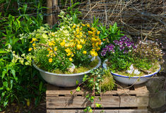 Several perennial plants pottet in old containers. Several perennial plants pottet in old containers a great cottage garden decorattion Stock Images