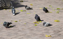 Several Pigeons sit among fallen leaves on a sidewalk tile Stock Photos