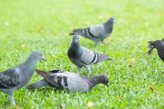 Several pigeons are walking on the lawn. Stock Images
