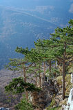 Several pines above steep precipice Stock Photography