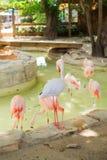 Several pink flamingos. Stock Photo