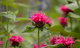 Close up of pink Bee Balm Monarda didyma flowers. Several pink Monarda flowers in a summer perennial border.The background is green bokeh. The plant is also Stock Image
