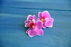Beautiful fragrant pink Phalaenopsis flowers on the blue stock photo