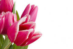 Several pink tulips Royalty Free Stock Images