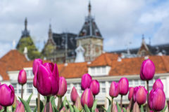 Several pink tulips with old european buildings. As background in the day in Amsterdam Royalty Free Stock Image