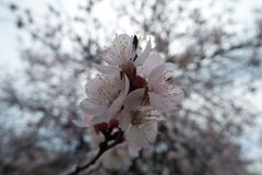 Several pinkish white flowers of apricot in spring. Several pinkish white flowers of apricot tree in spring stock photo