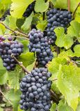 Pinot Noir Grapes in Champagne. Several Pinot Noir Grapes in the Champagne region at a vine in a vineyard in France Royalty Free Stock Photos