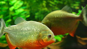 Piranhas in the water. Several piranhas in the water stock video footage