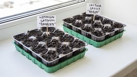 Several plastic containers with garden soil. Planted seedlings-Image royalty free stock photo