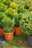 Several plastic pots of beautiful pine trees on tree nursery. Several plastic pots of beautiful pine trees on tree nursery farm royalty free stock images
