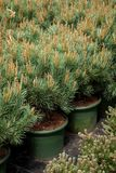 Several pots of small pine trees on tree nursery farm. Several plastic pots of small pine trees on tree nursery farm stock images