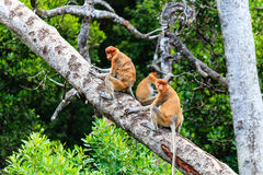 Several Proboscis Monkeys in a tree Stock Photography