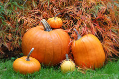 Several Pumpkins with Japanese Maple in a Garden Stock Photography