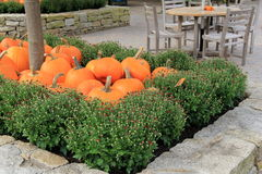 Several pumpkins resting in bed of Fall mums Royalty Free Stock Image