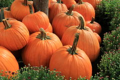 Several pumpkins tucked in bed of Hardy Mums Stock Photography