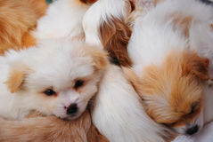 Several puppies sleeping together Royalty Free Stock Photos