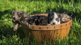 Several puppies in a wooden basket on a green lawn