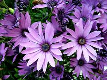Purple African Moon Daisy's. Several purple African Moon Daisy's Stock Photo