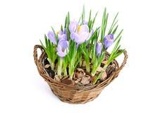 Several purple crocuses  in decorative basket Stock Photos