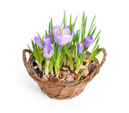 Several purple crocuses  in decorative busket Stock Images