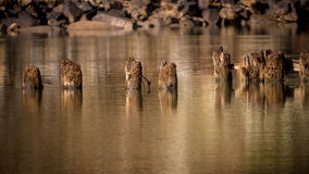 Several Pylons in an Idaho river with reflection Stock Photo