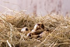 Several quail eggs placed on haystack Stock Photo