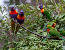 Several lorikeets on adjacent branches Royalty Free Stock Image