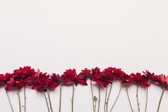 Several red flowers of chrysanthemums on a white background Royalty Free Stock Photography