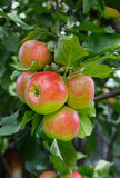 Several red-green apples on a branch. Several red-green apples on a branch surrounded by green leaves Royalty Free Stock Images