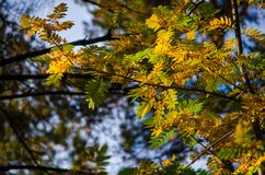 Several red leaves of a mountain ash in the autumn sun. Several red and green leaves of a mountain ash in the autumn sun royalty free stock photos