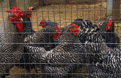 Hens in a cage Royalty Free Stock Photo