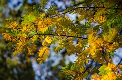 Several red leaves of a mountain ash in the autumn sun. Several red and green leaves of a mountain ash in the autumn sun royalty free stock photography