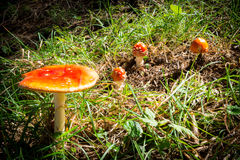 Several red mushrooms fungi Royalty Free Stock Photography