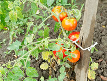 Several red tomato on bush in garden Stock Photos