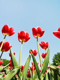 Several red tulips on blue sky background Royalty Free Stock Images
