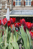 Several red tulips near the old house. In Amsterdam in the day Royalty Free Stock Images