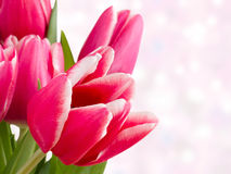 Several red tulips on a pink Royalty Free Stock Photography