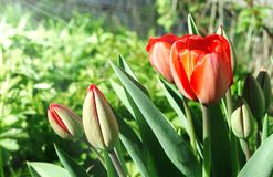 Several red tulips Stock Photography