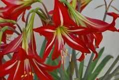 Several red-white lily. Several red-white blooming lily in garden Royalty Free Stock Photography